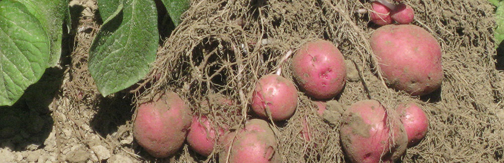 Red Potatos prior to planting